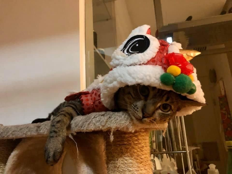 A photo of my cat, Francis Begbie, unhappily dressed in a lion dance costume.